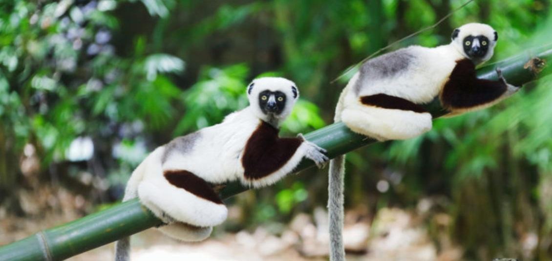 Lémuriens de Madagascar sur une branche de bambou
