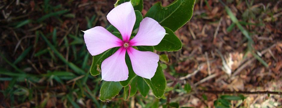Plan te médicinale Catharanthus roseus