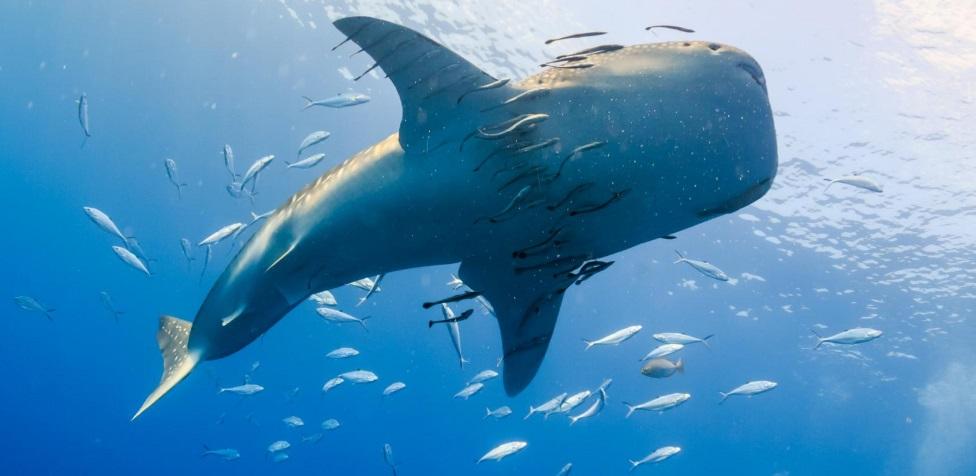 Un requin dans les eaux de Madagascar