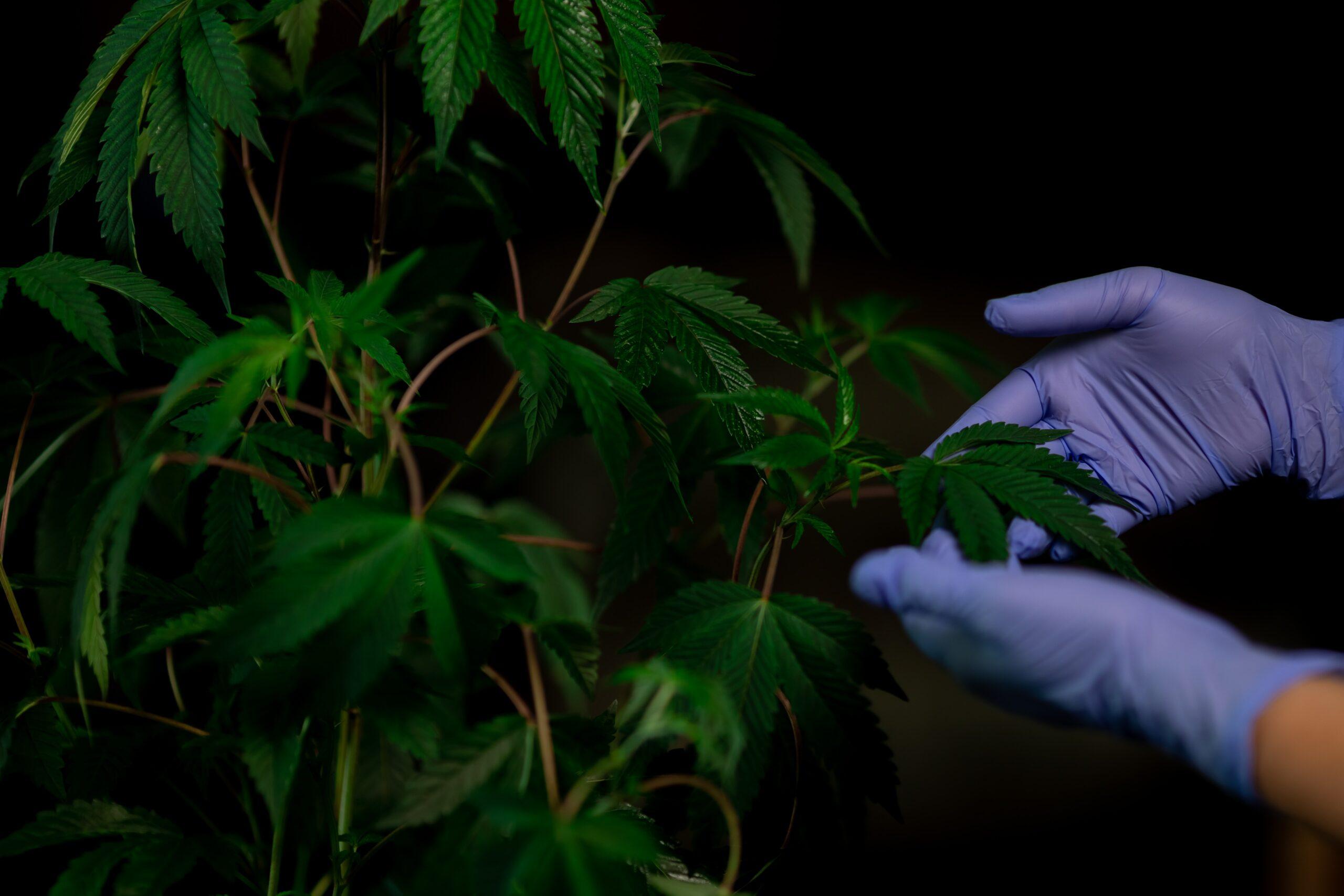 mains avec gants bleu tenant une feuille de cannabis